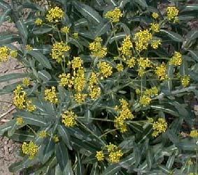 Des vertus des plantes par Macer Floridus, 1832 Guede